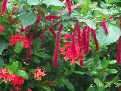 Belize_flower_8