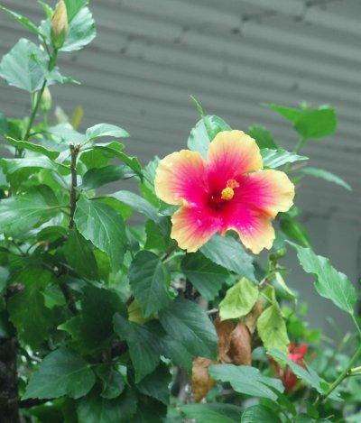 Belize_flower_9