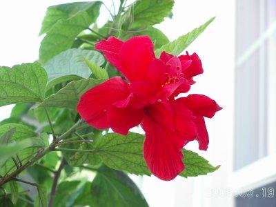 Belizeflowers4_1