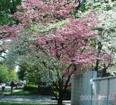 Bicolor_tree1