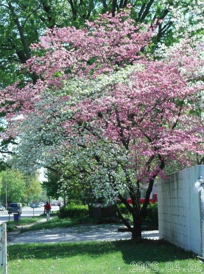 Bicolor_tree_21