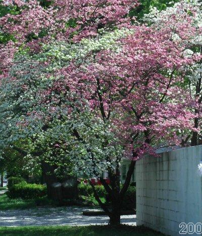 Bicolor_tree_31
