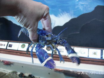Blue_lobster
