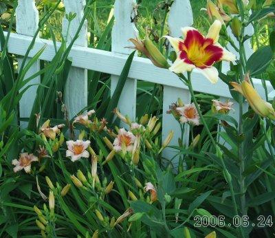 Lilies_1