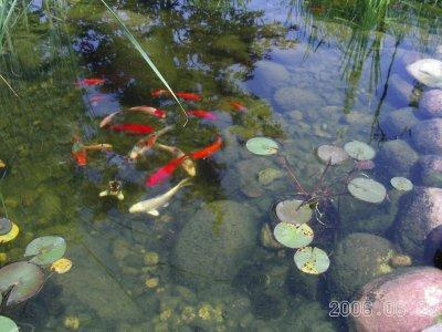 Pond_n_fish_3
