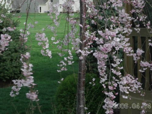 Weeping_cherry_sp_06_2_1
