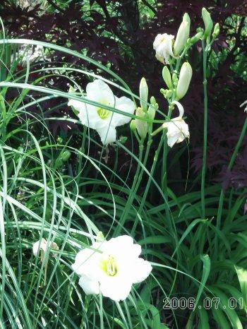 White_daylilies_3