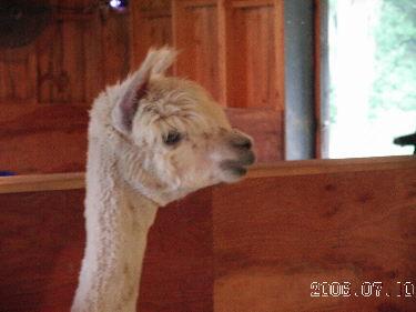 Winters_gone_alpaca7